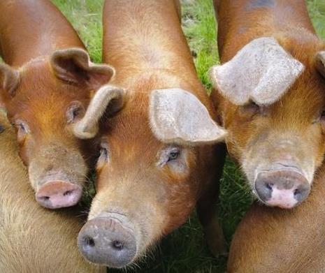 杜洛克种猪品种纯良