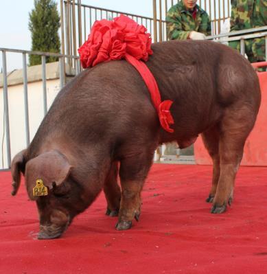 杜洛克种猪