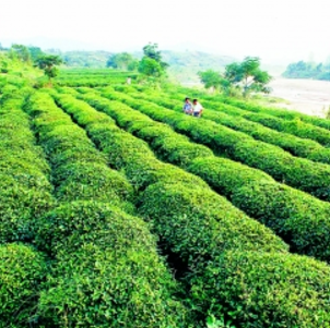 桐柏山野茶生产基地