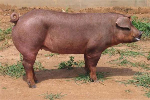 杜洛克种猪加盟