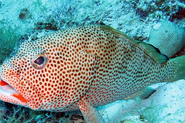 四通海产石斑鱼