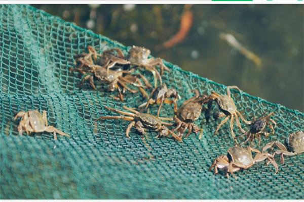 遵紀大閘蟹養殖