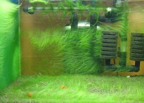 可爱丽鱼缸海草