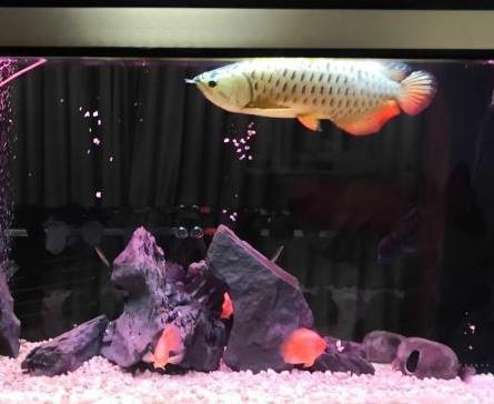 可爱丽鱼缸龙鱼