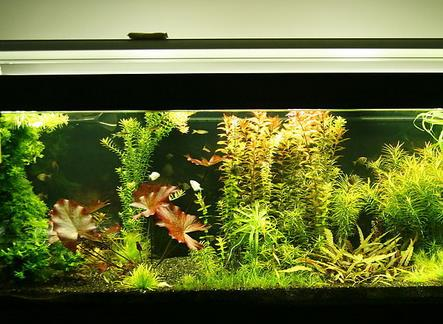 可爱丽鱼缸水草景