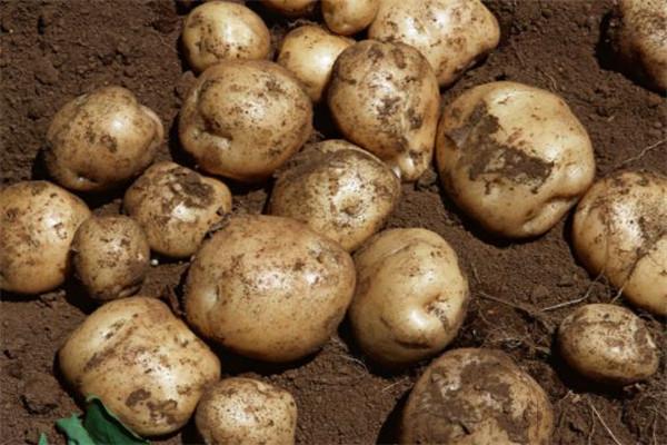 天恩赐中医土豆
