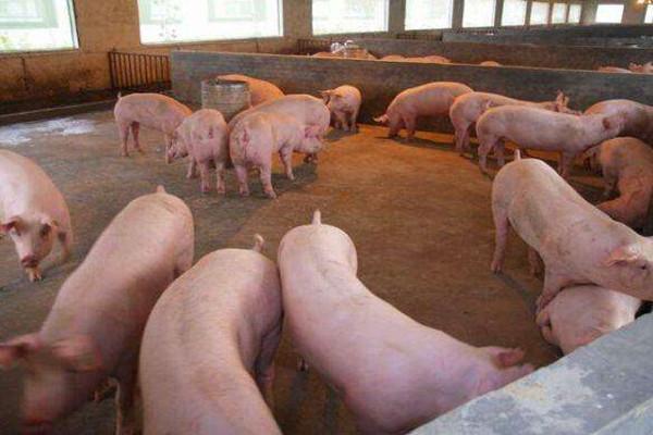 养1000头猪的年获利