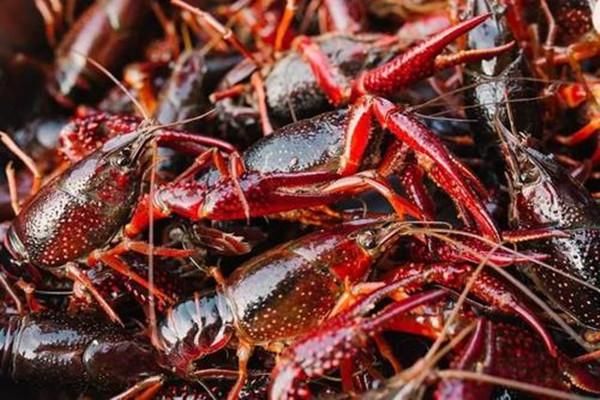 养殖20亩龙虾可赚多少