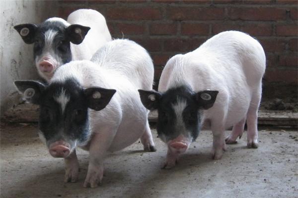 華益養殖養豬品牌