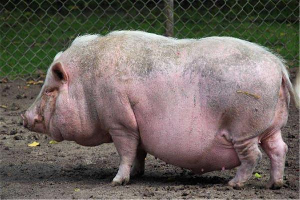 华益养殖养猪推广