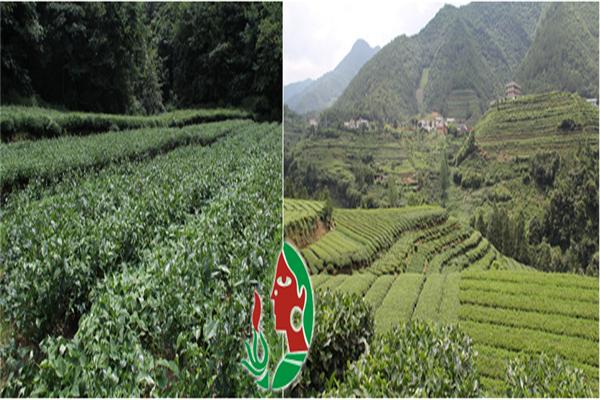 古峰茶叶产地
