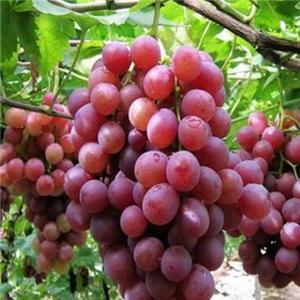 紅提葡萄營養