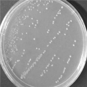 保加利亞乳桿菌顯微鏡