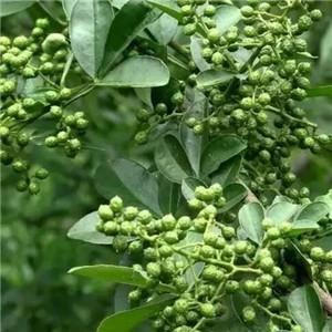 金阳青花椒质量