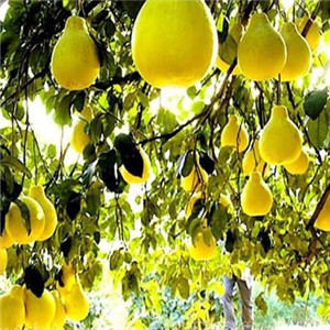 白濤鴻特產食品梨子