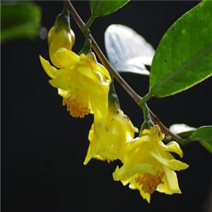 國茗金花茶植物