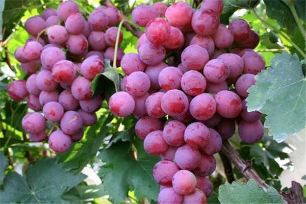 紅提葡萄美味
