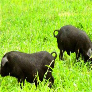 天楮生態草豬生長