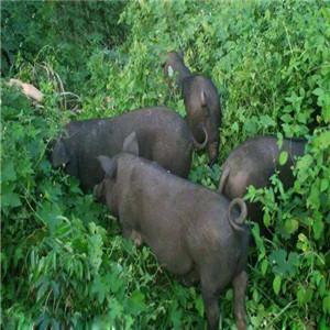 天楮生態草豬營養