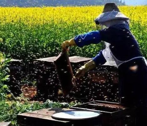 真响蜂蜜采集