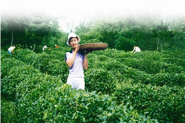 仪雪日照绿茶茶园