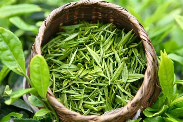 茗山生态茶叶嫩芽