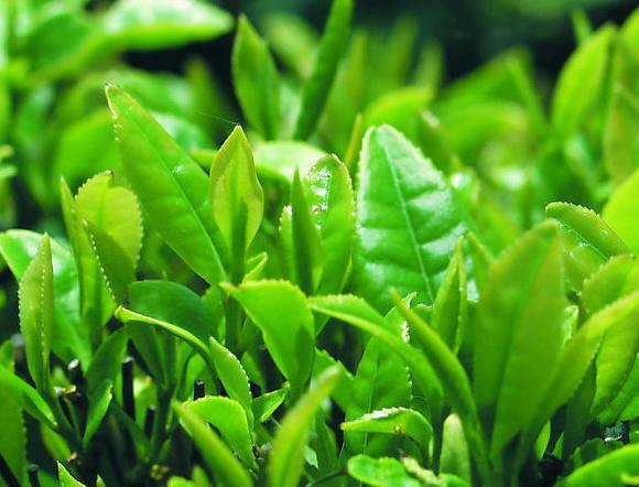 中山一品绿色
