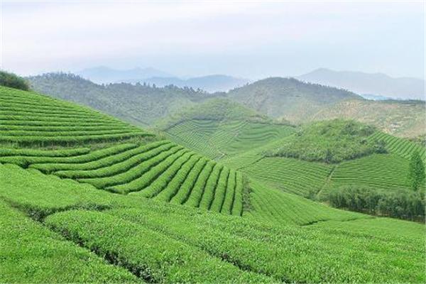 世界峰茶业专业茶园