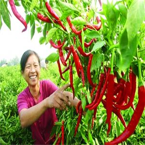 隆平高科辣椒种植