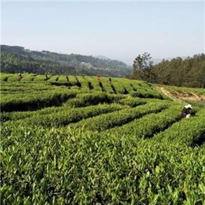 平武茶业种植环境