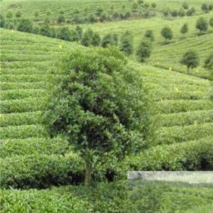 平武茶业环境好
