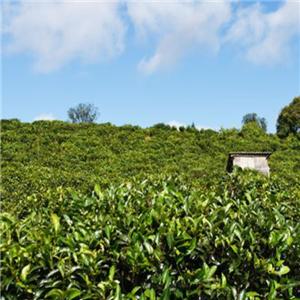 平武茶业茶味香醇