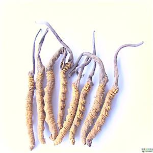 华宝虫草种植-美味