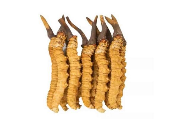 华宝虫草种植-营养