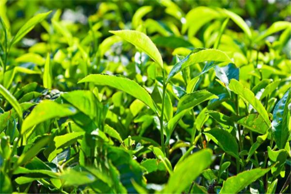 聞韻茶業綠色