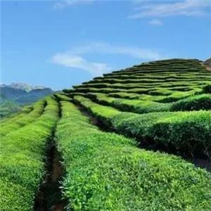 兰缘茶叶鲜美