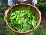 荞农世家茶叶